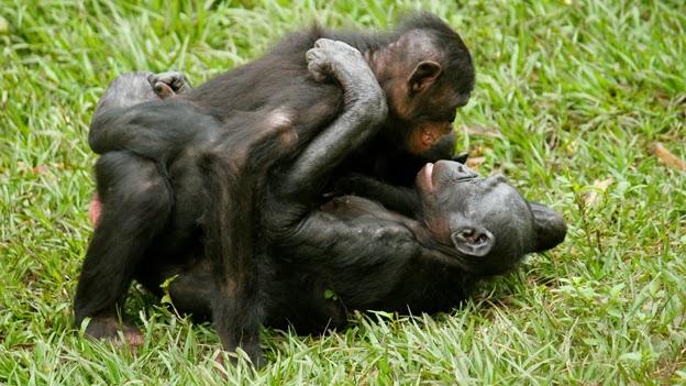 Chimpanzee sexuality — photo 6